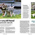 Forskning varg - hund, sid 1